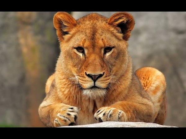 Последняя львица (Документальные фильмы National Geographic HD) » Freewka.com - Смотреть онлайн в хорощем качестве