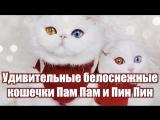 Удивительные белоснежные кошечки Пам Пам и Пин Пин