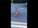 Лиса ворует кошелек и убегает Мужчина решил снять лису на видео, а она украла его кошелек и убегает