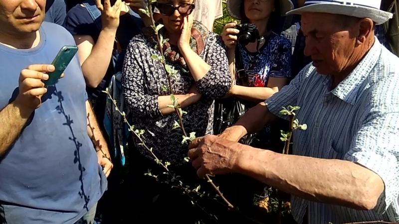 Б Н Агеев об обрезке и формировании кроны яблони Часть 2