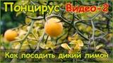 Как посадить дикий лимон он же понцирус трифолиата - стратификация семян и посадка - видео 2