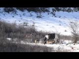 Лошадка и волки