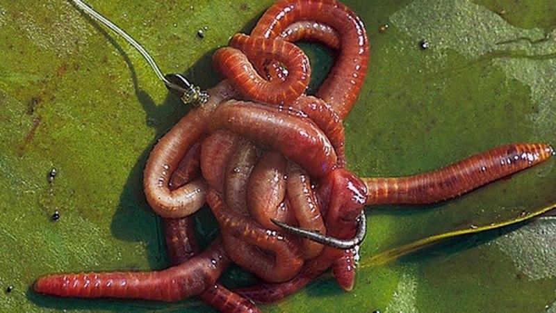 Как сделать навозного червя ещё более уловистым.