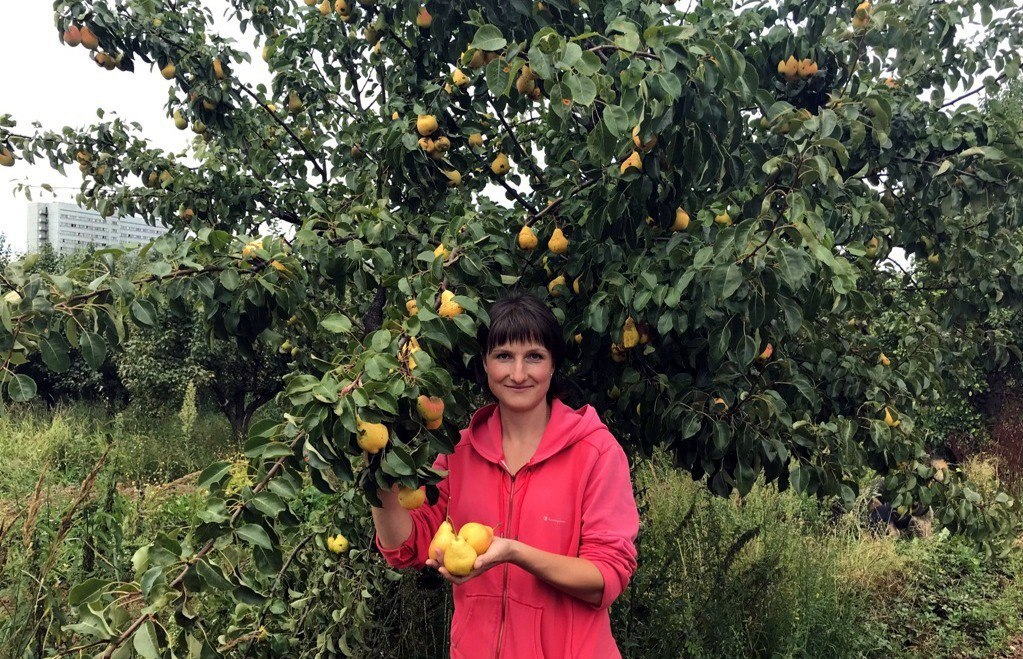 В Мичуринском саду Тимирязевской академии созрели ранние сорта груш