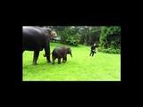 Adorable Baby Elephant Copies Man Sliding
