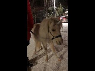 Миниатюрная лошадка Спартакус