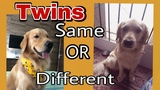 Identical TWIN DOGS - Same Behaviour or Different - Golden Retriever
