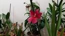 Орхидея Камбрия Буррагеара без корней Что я предпринимала Ответы на вопросы подписчиков