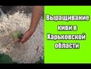 Выращивание киви в Харьковской области