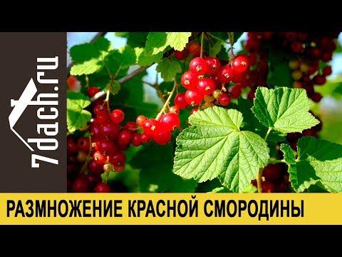 Размножение красной смородины черенками - 7 дач