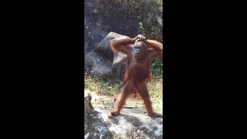обезьянка чачача