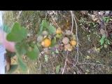 Жёлтая малинка и чайные деревья. #сЧаемПоКитаю #ChinaTeaTravel #YunnanTeaTrip2018