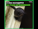 Познакомьтесь – это русская выхухоль, и она находится на грани исчезновения