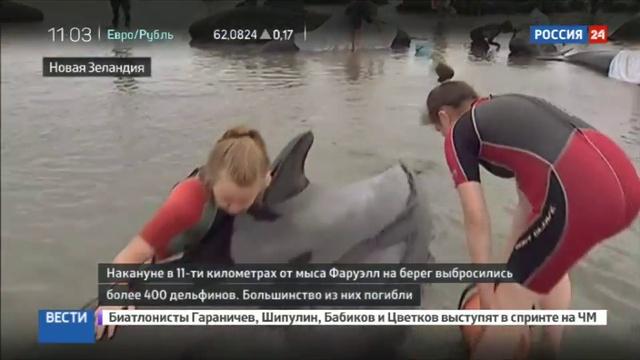 Новости на Россия 24 • В Новой Зеландии еще 200 дельфинов-гринд выбросились на берег