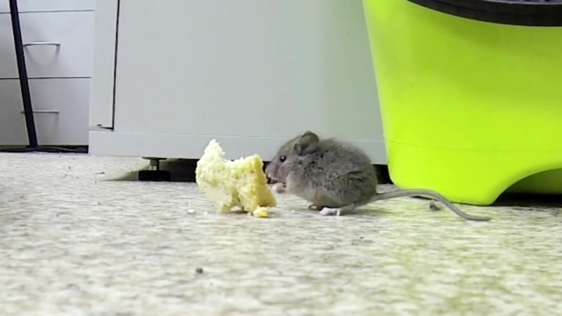 Мышка кушает печеньки домовая мышь mus musculus