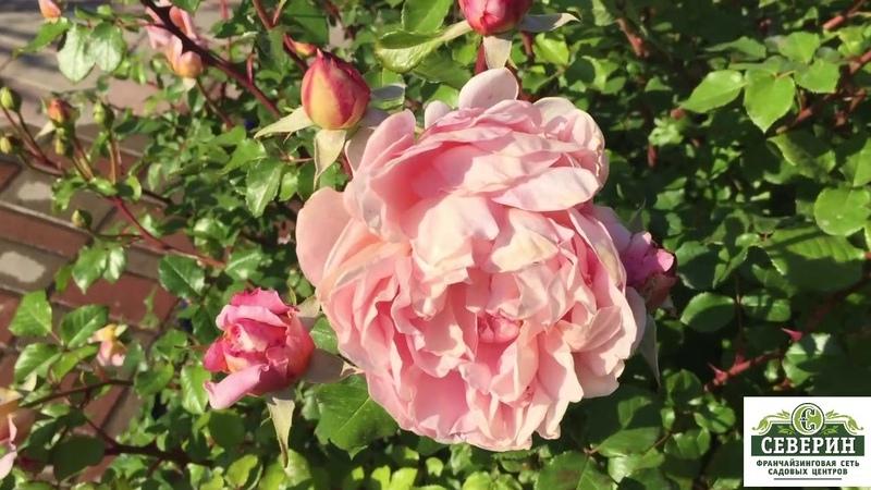 Анлийские розы: Абрахам Дерби. Бенджамин Бриттен.