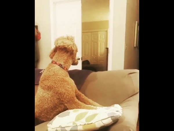 This poodle wins hands down the whatthefluffchallenge