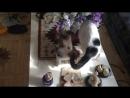 Манчкины. Котенок играет с мамой-кошкой.