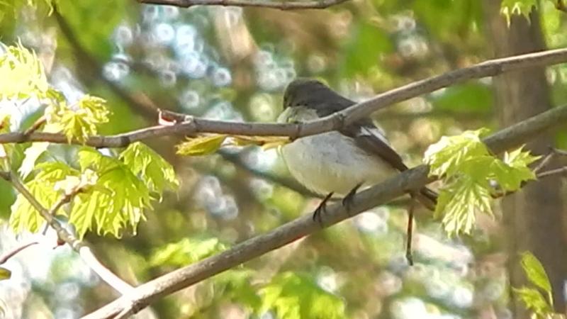 мухоловка поёт