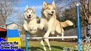 Husky Agility Challenge | Can Huskies do Agility | Dog Agility Course
