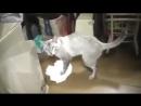 Кота заставили мыть полы