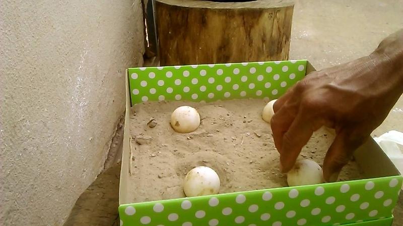 Chocadeira de ovos de tartarugas (jabuti)