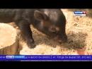 Смоленским экологам подложили свинью Небольшую такую 1