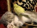Попугай тормошит котика