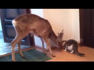 Ох*евший олень