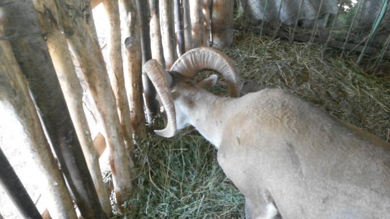 Гибриды архара и овцы! Hybrid of argali and sheep