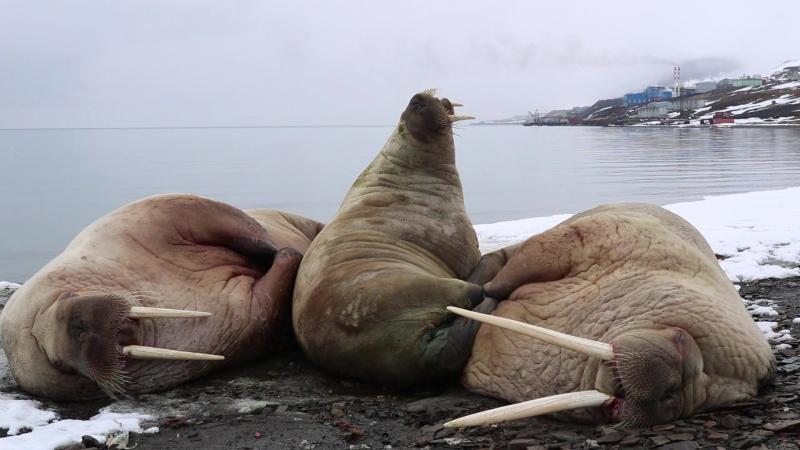Моржовое симейство