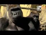 Happy Fathers Day to Silverback Gorilla Jomo - Cincinnati Zoo