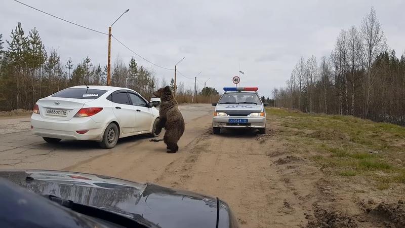 Медведь ломится в машину ДПС в Печоре смотреть онлайн без регистрации