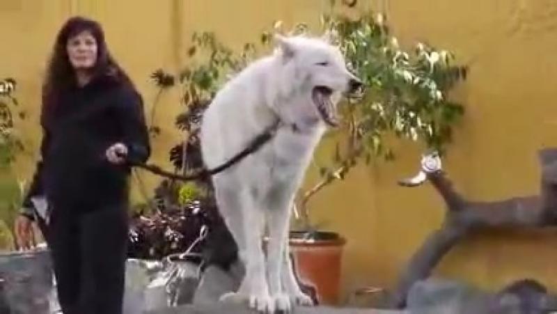 Арктический белый волк воет для публики