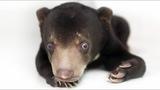 How a little sun bear cub learnt to walk - Blue's update 2018