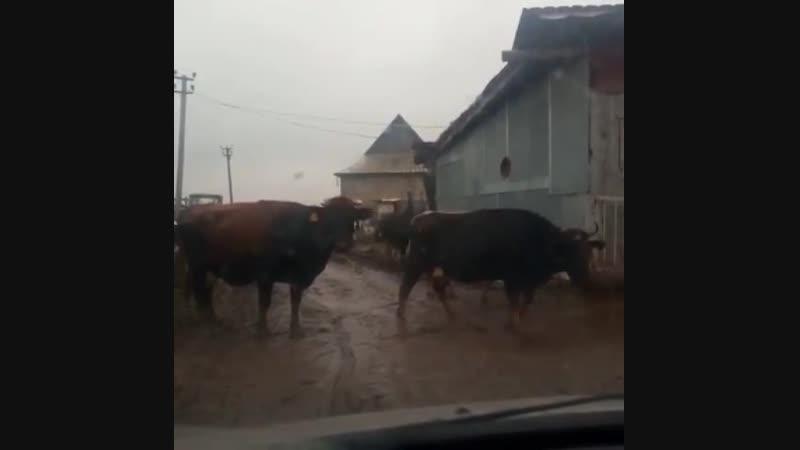 утренняя дойка на ферме Корневых