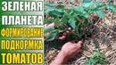 Выращивание томатов Как пасынковать формировать томаты когда подкармливать