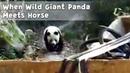 A Wild Giant Panda Discovered In Hanzhong ,Shaanxi | iPanda