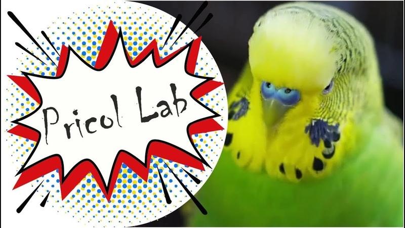 Говорящий волнистый попугай, говорящий Корелла и Жако