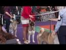 Пенза ,региональная выставка собак.Ранг САС КЧФ