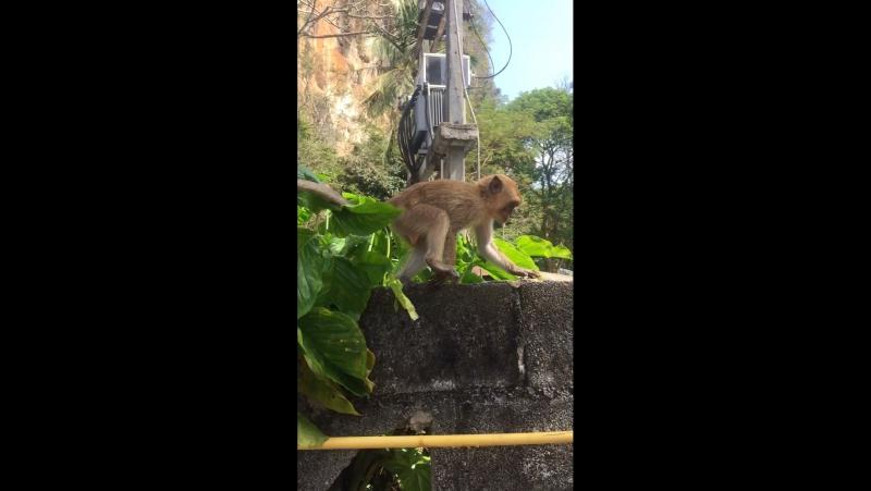 Рэкит обезьян