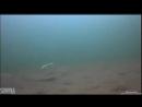 Подводная игра Мебару (Mebaru) на зимней рыбалке на окуня с различным креплением