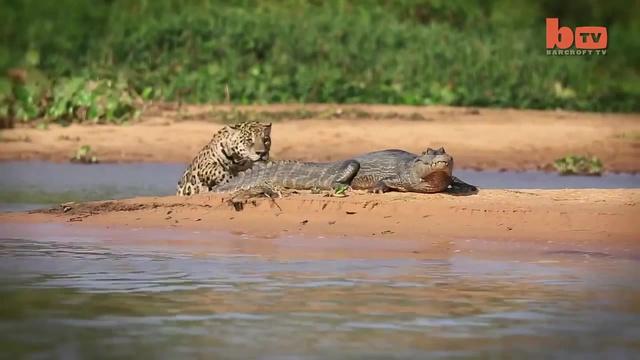 Jaguar Attacks Caiman Crocodile · coub, коуб