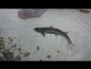 скаты акулы 2