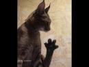 Кот моет лапу