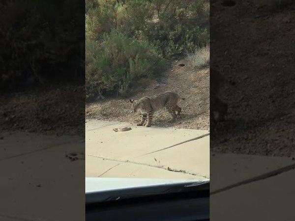 Bobcat Battles Rattlesnake on Side of Road - 987312