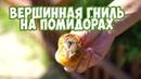 Вершинная гниль томатов Лечение ✔️ Как спасти помидоры