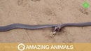 Venomous Snakes Roll Around In Double Head Lock