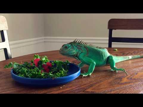 Axanthic ( Aqua ) Blue iguana diet and feeding
