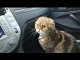 автомобильная кошка